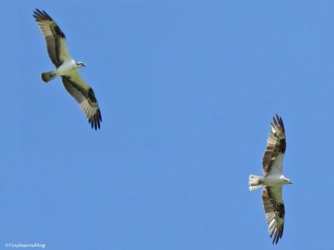papa osprey and sindile UD16