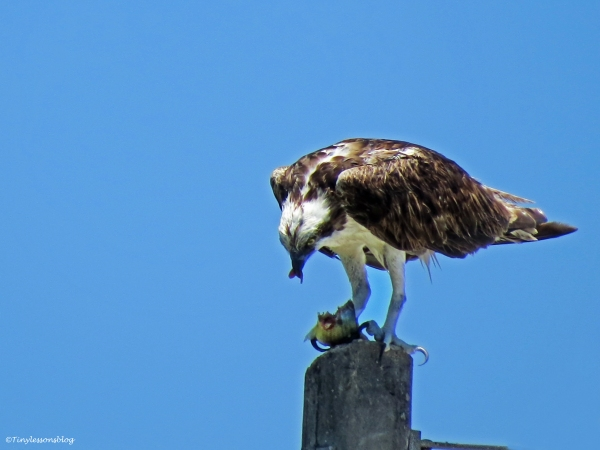 male osprey eating fish Sand Key Clearwater Florida