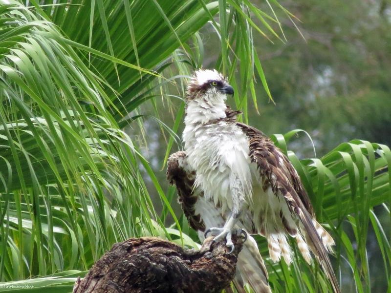 papa osprey sand key clearwater Florida