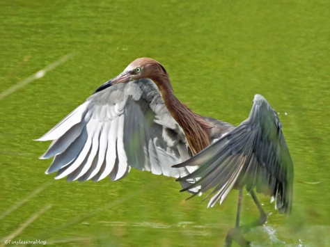 reddish egret hunting Sand Key Clearwater Florida