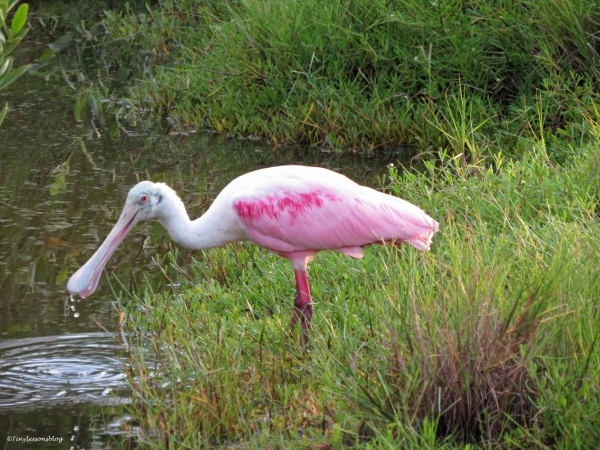 roseate spoonbill at sunset Sand Key Park Clearwater Florida