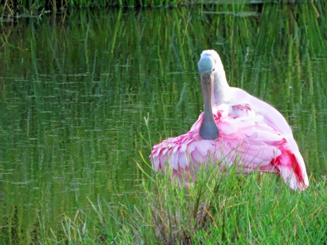 roseate spoonbill Sand Key Park Clearwater Florida