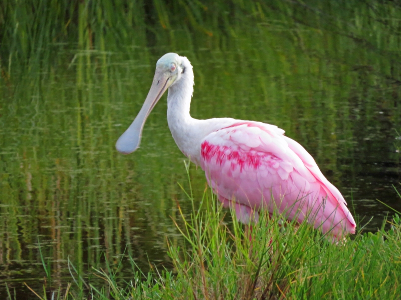 roseate spoonbill sleeping at sunset Sand Key Park Clearwater Florida