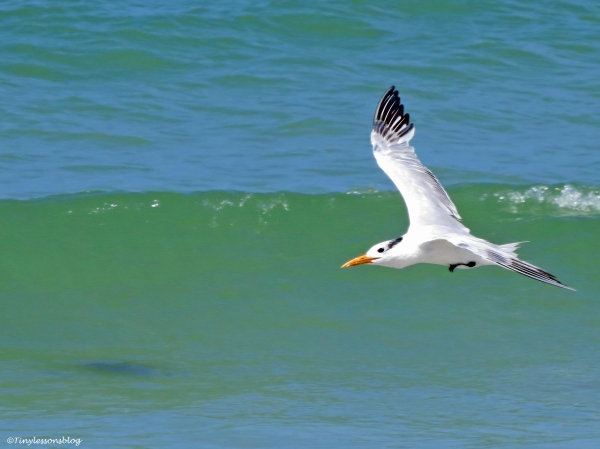 royal tern flying Sand Key Beach Florida