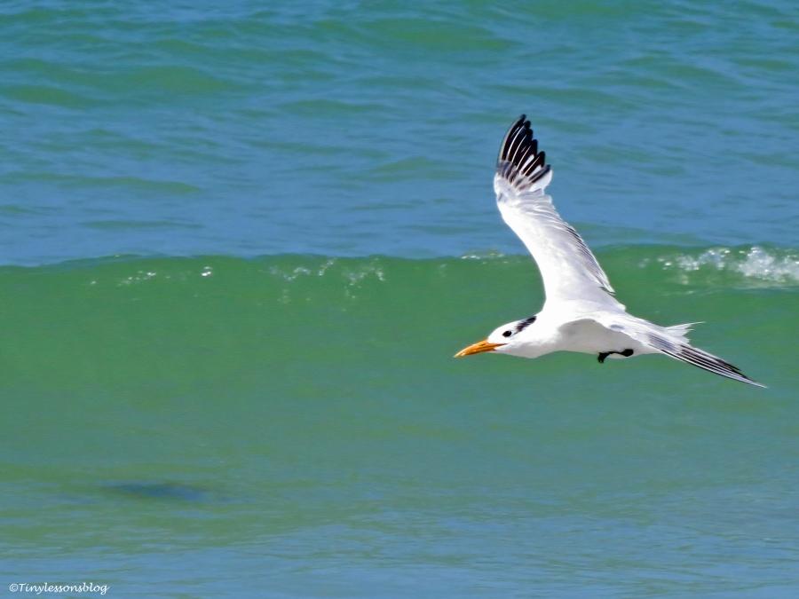 royal tern flying Sand Key Beach Florida