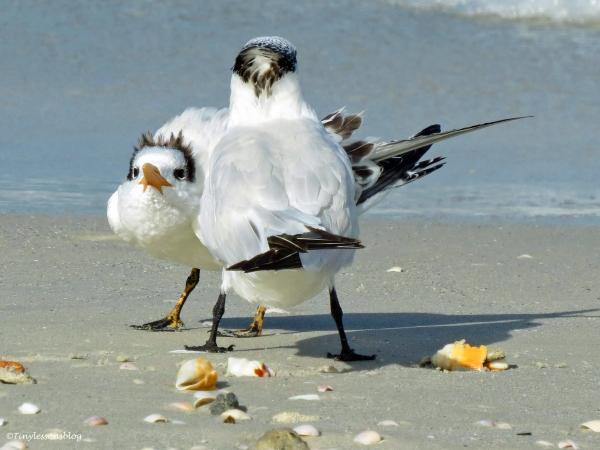 royal tern mom and child Sand Key Beach Florida