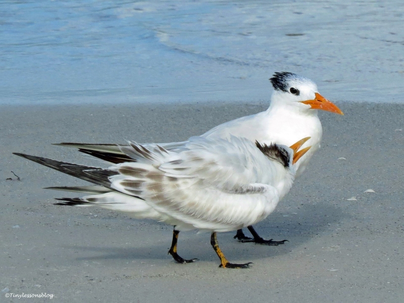 royal tern mom and juvenile Sand Key Beach Florida