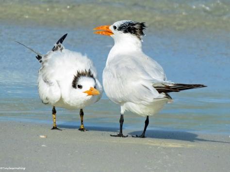 royal tern mom and juvenile Sand Key Beach Florida