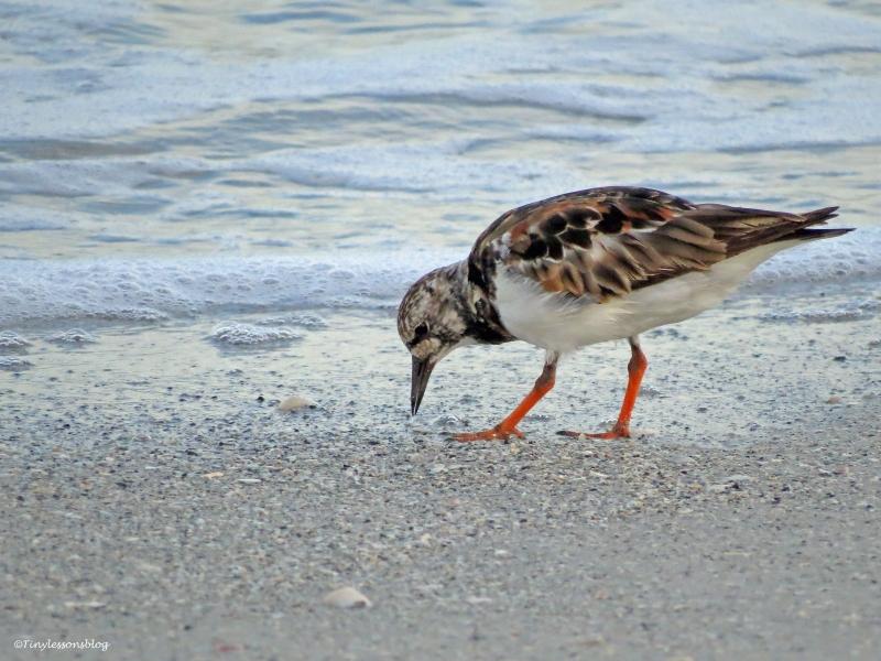 ruddy turnstone on sand key beach Clearwater Florida