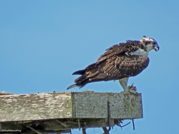 osprey chick has a fish Sand Key Clearwater Florida