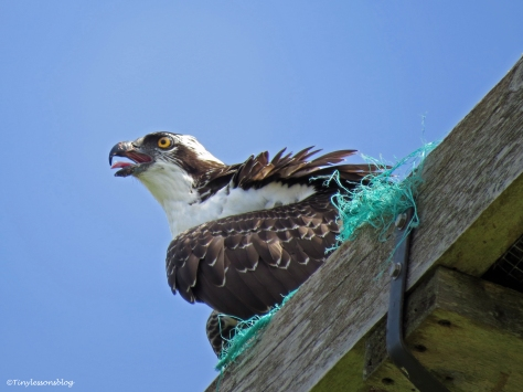 osprey chick is cooling herself Sand Key Clearwater Florida