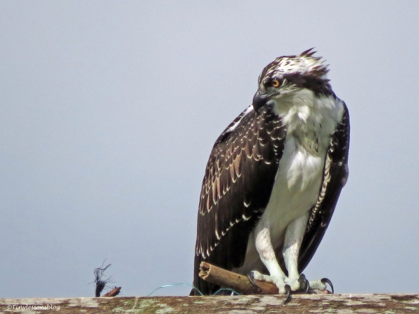 osprey chick in the nest Sand Key Clearwater Florida