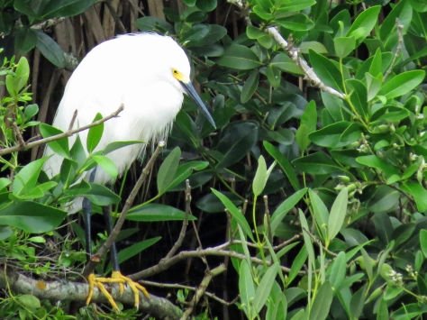 snowy egret takes shelter in the storm sand key clearwater Florida