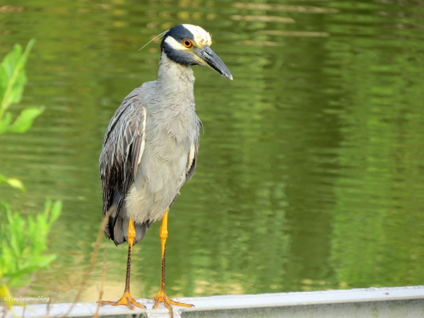 soaking wet yellowcrowned night heron Sand Key Clearwater Florida