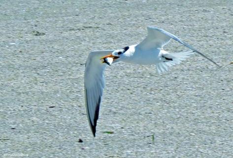 royal tern has a fish Sand Key Beach Florida