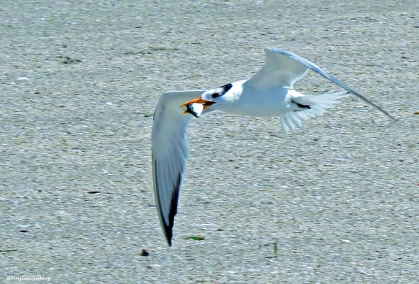 royal tern has a fish Sand Key Beach Florida