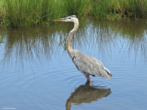 Young Great blue heron Sand Key Park Clearwater Florida