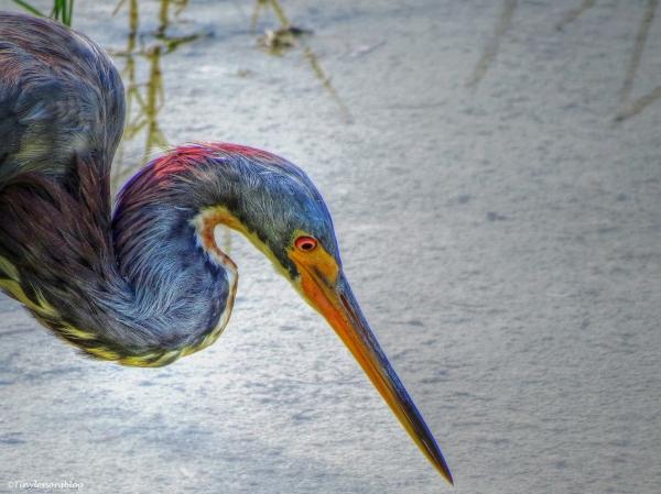 tri-colored heron portrait half and half