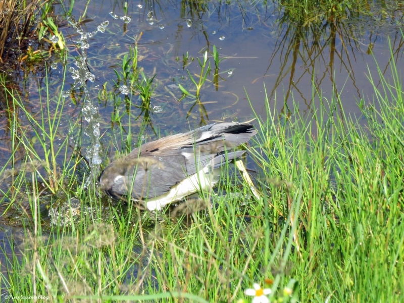 tricolored heron hunting sand key clearwater Florida