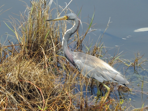 tricolored heron hunting Sand Key Park Clearwater Florida