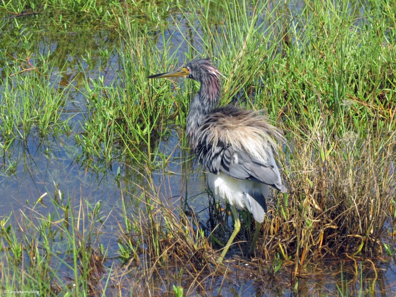 tricolored heron shakes off UD18