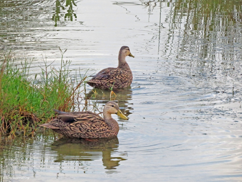 two mottled ducks at sunrise Sand Key Park Clearwater Florida