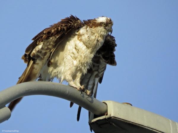 wet female osprey shakes herself Sand Key Clearwater Florida