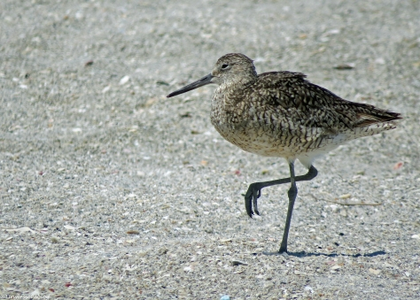 willet in breeding plumage UD16