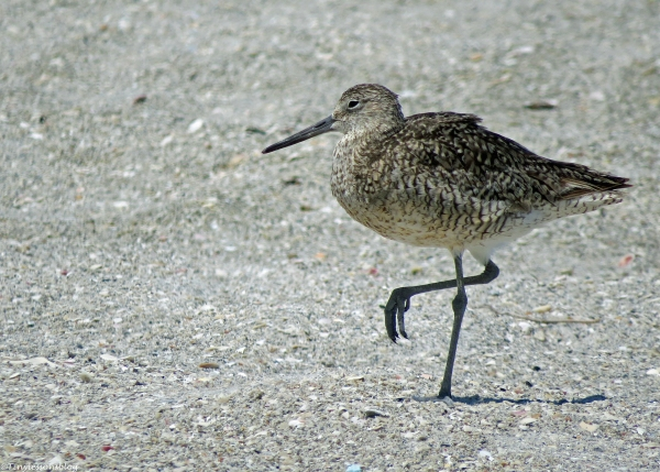willet in breeding plumage UD16