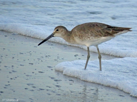 willet on sand key beach at sunrise clearwater florida