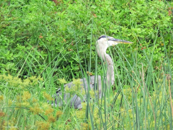 young blue heron after the storm sand key clearwater Florida