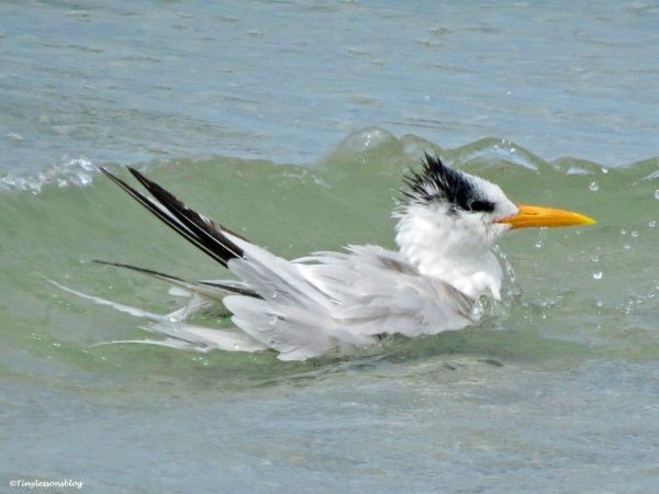 Royal tern swimming