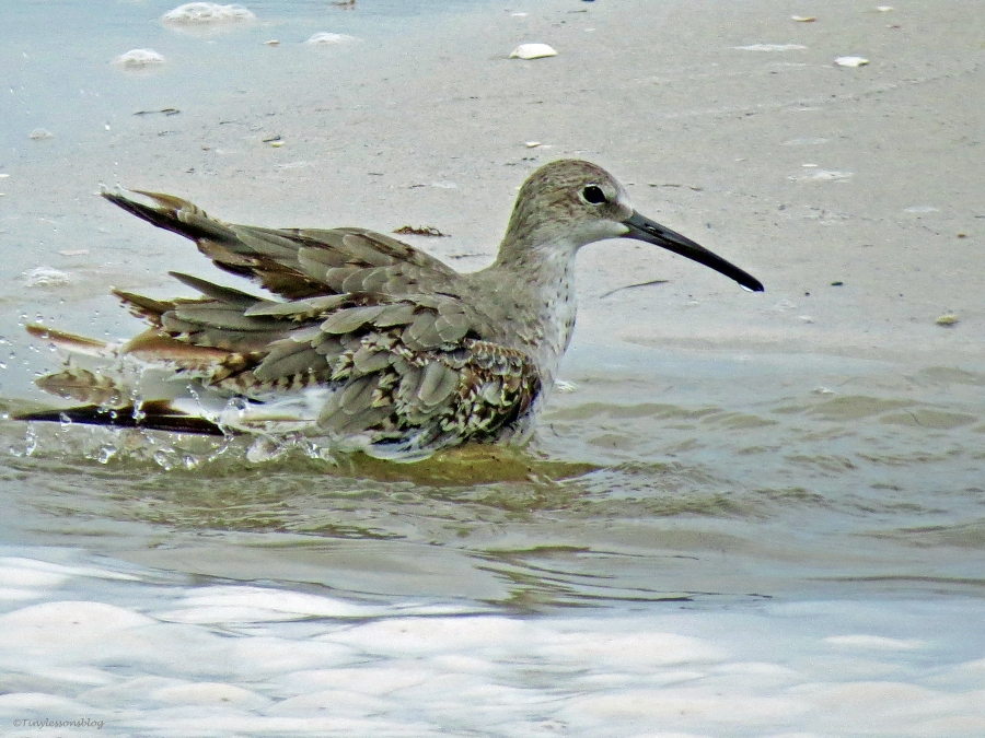 a willet bathing in flood water bay side sand key clearwater florida