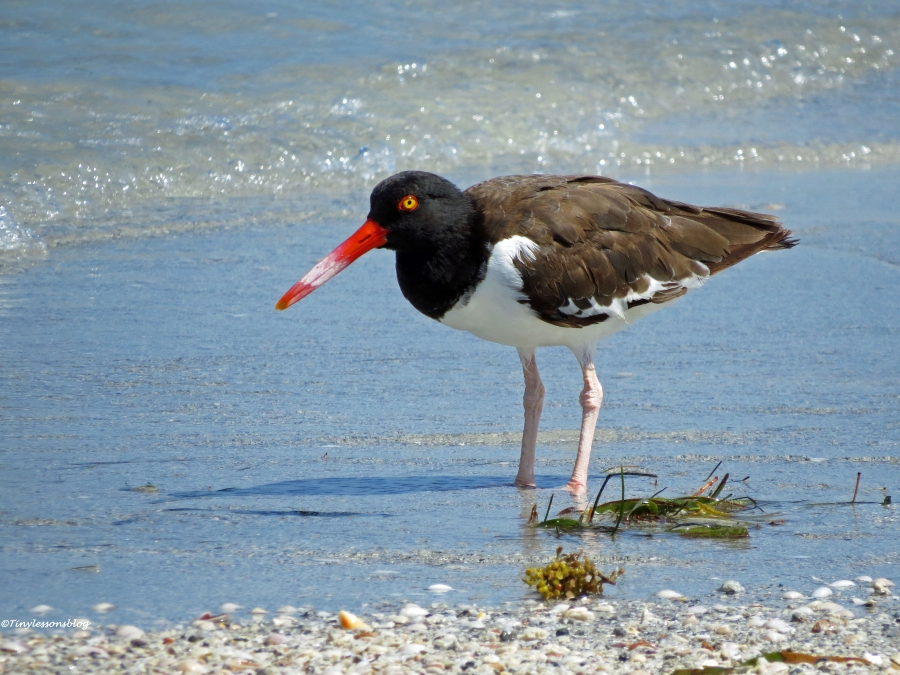 American oystercatcher Sand Key beach, Clearwater, Florida