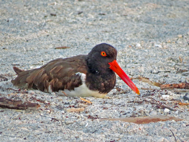 American oystercatcher ud22