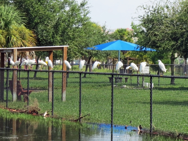 egrets and ibis perching on the fence in the dog park Sand Key park Clearwater Florida
