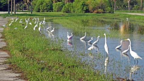 egrets foraging in flood waters Sand Key Park, Clearwater, Florida