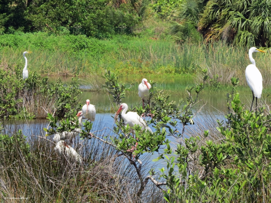 birds in the salt marsh after the storms Sand Key park Clearwater Florida