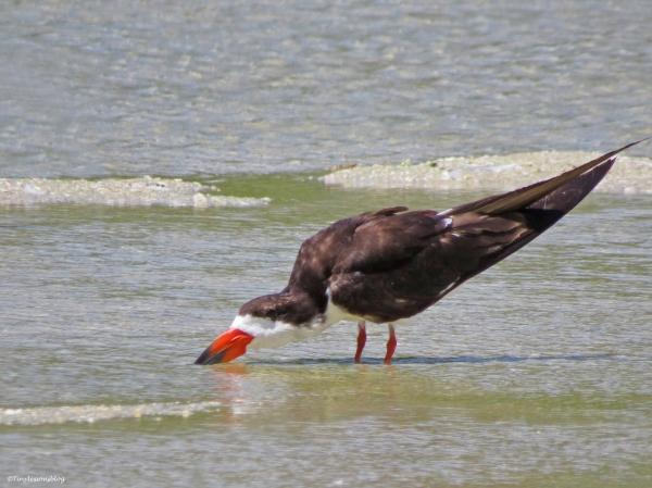 black skimmer drinking fresh water ud21