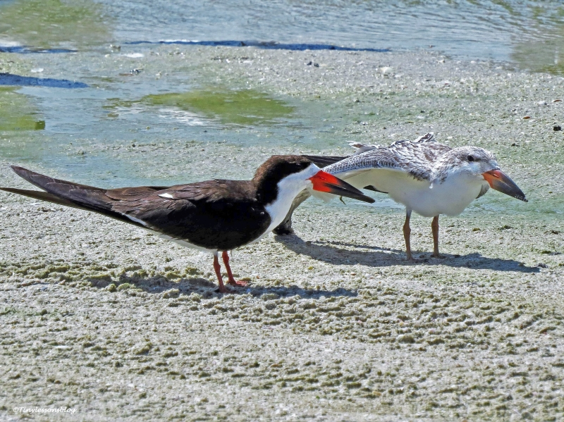 black skimmer mom and baby Sand Key beach, Clearwater, Florida