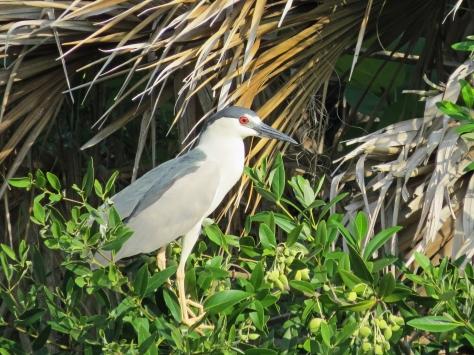 blackcrowned Night Heron UD22