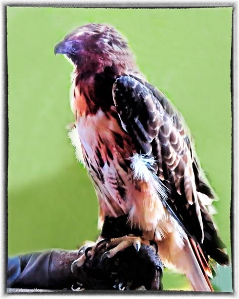 blind red-shouldered hawk 3 with frame