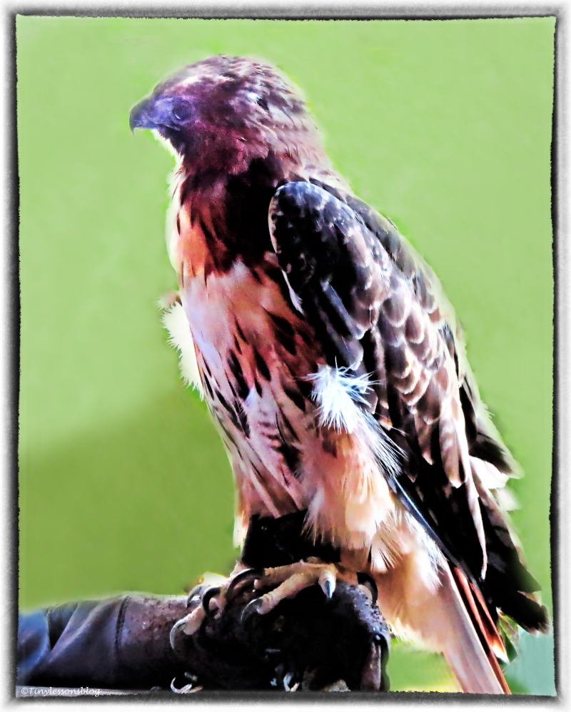 blind red-shouldered hawk 3 with frame