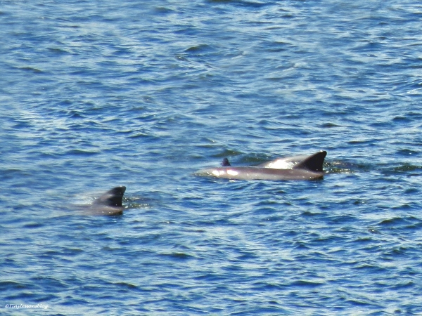 dolphins in st johns river jax