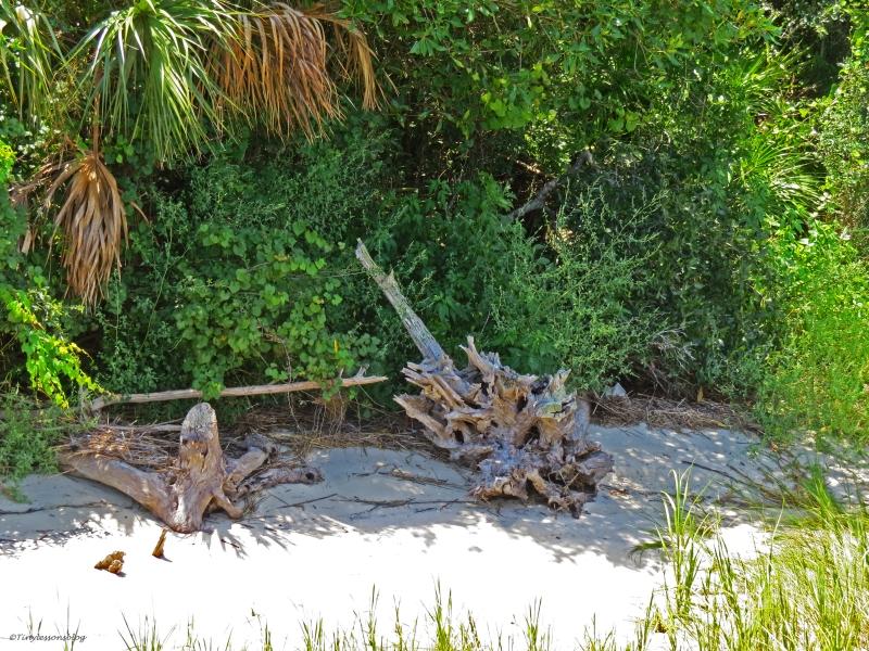 drift wood on the beach in jax