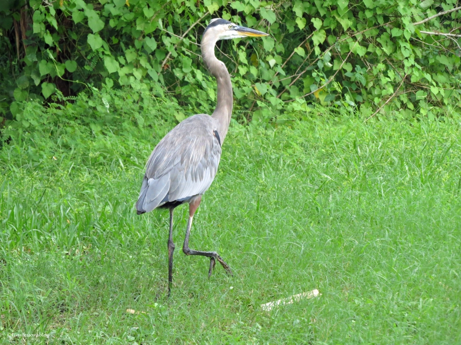 great blue heron inspects the marsh sand key clearwater florida