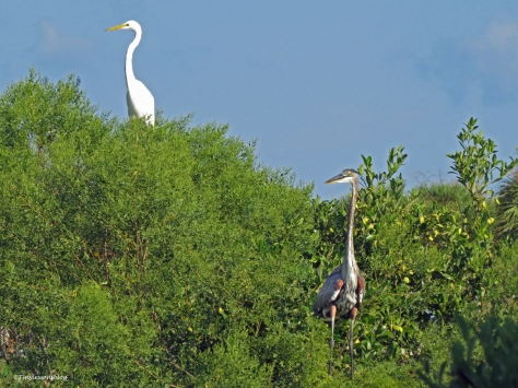 great egret and the young blue heron ud22