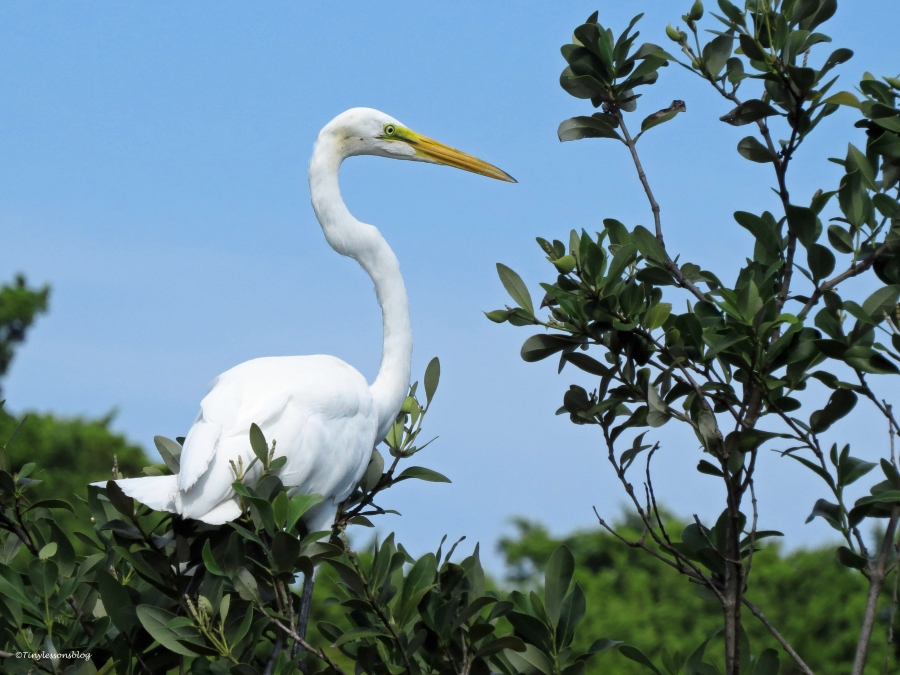 great egret on the top ud21