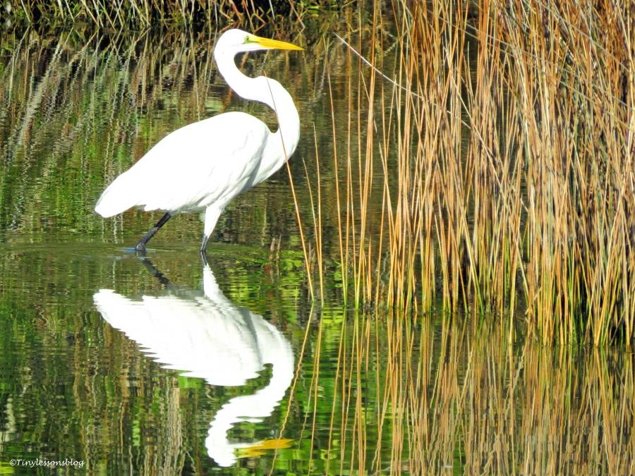 great egret reflection ud22