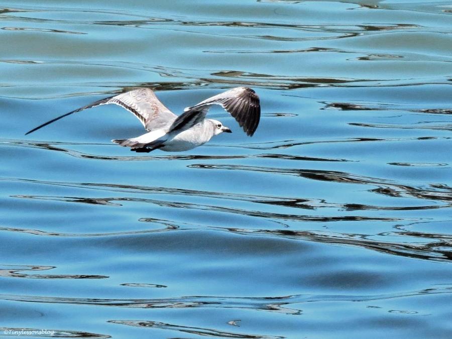 gull flying on the bay insp